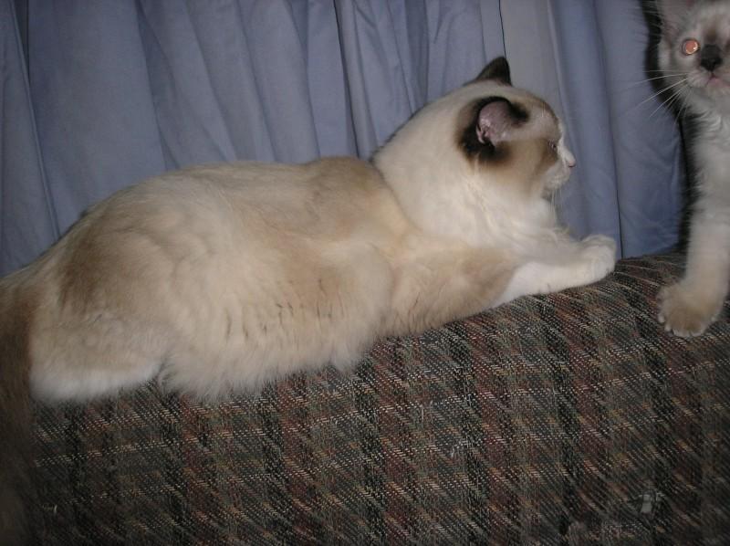 gorgeous Ragdoll cats let